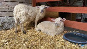 Två vita får som tittar mot kameran. Ett står och ett ligger. Marken är täckt av halm och ett rött trästaket syns bakom fåren.