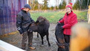 Karl och Seija Åberg med wagyu-korna Korona och Kaya.