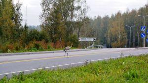 En ung trana irrar omkring i trafiken i Ruskis.
