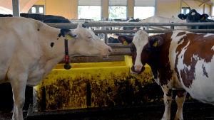 Två kor står i en ladugård.