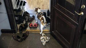 Hund tittar in i en lägenhet med en massa skor i tamburen.