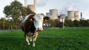 En ko på bete vid kolkraftverket i Berheim, Tyskland. Kolkraftverken hör till de största klimatbovarna i EU med stora utsläpp av koldioxid som bidrar till den globala uppvärmningen.