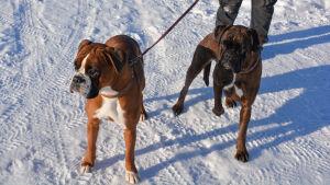 två boxerhundar en snöig dag