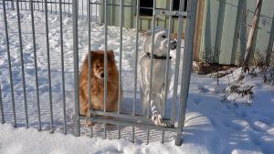 två små hundar bakom galler en snöig dag