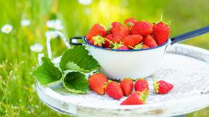 En vit sil full med jordgubbar ovanför en bricka med några jordgubbar och blad. Bakgrunden är grön.