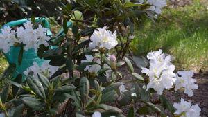 en vit blommande rhodondendron
