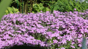 Lilafärgade blommor som är marktäckande