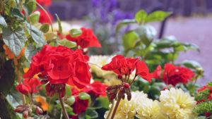 Färgglada blommor.