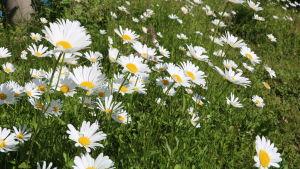 Prästkragar blommar