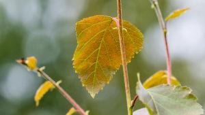 Koivun keltaisia lehtiä oksassa