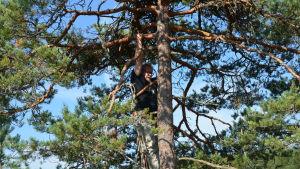 Juhani Karhumäki klättrar upp i en tall för att ringmärka fiskgjusar