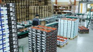 Tomater packas i lådor på grönsakspackeriet Närpes Grönsaker