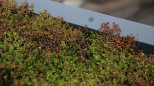 Närbild på fetknopp som används på gröna tak.