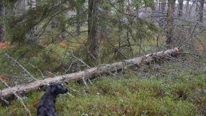Ett träd har fallit i en skog, en svart hund står bredvid trädet.