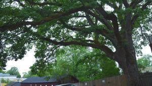 ett stort träd i småstadsmiljö
