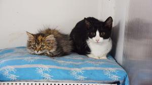 Två kattungar ligger på en kudde, en är långhårig, grå med en gul fläck i pannan och den andra svart och vit.