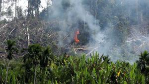 Regnskog som brinner i Indonesien för att göra plats för palmoljeplantage.