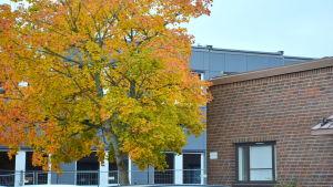 ett gult höstträd och bakom syns baracker och vid sidan en del av ett tegelhus