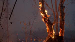 Omfattande skogsbränder i Chiquitania, Santa Cruz de la Sierra, Bolivia 22.9.2019