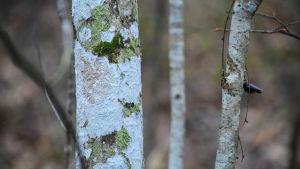 Närbild av en smal stam där det växer ljusgrön och mörkgrön mossa.