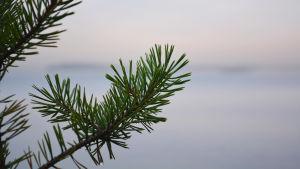 Närbild av en tallkvist. Tallbarren är gröna och du ser havet i bakgrunden. Du ser några vattendroppar bland barren.
