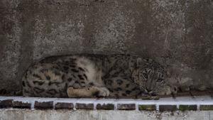 Juma on Ähtärin eläinpuiston uusi naaraslumileopardi, joka totuttelee vähitelleen uuteen elinympäristöönsä.