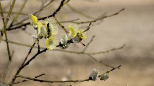 Videkissar som blommar och har gula frön.