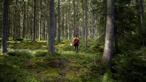 Marjastaja metsässä.