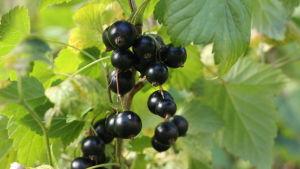 Svarta vinbärs klasar på buske.