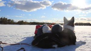 Marjo Kämäräinen Rino-koiransa kanssa pilkillä Kitkalla.