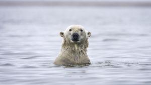 Simmande isbjörn