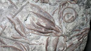 Fossiliserade sjöliljor från Ordovicium.