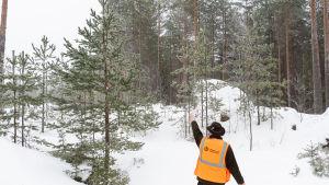 En man i orange väst och hatt pekar mot en tall som är ca 3 gånger högre än han, snöig skog i bakgrunden.