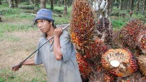 En man bär på frukten från ett oljepalmsträd.