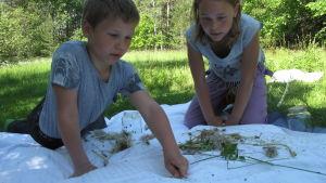 Arvid och Emelie Munsterhjelm inspekterar sina fångade insekter på ett vitt lakan.