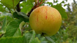 Rödstrimmigt äpple hänger på en gren