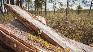 Vanhat pitkospuut, sammaloituneet