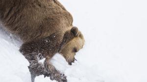björn