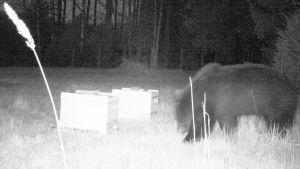 En svartvit nattbild på en björn.