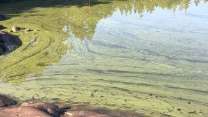 Cyanobakterier vid Finnholmsören, Borgå skärgård