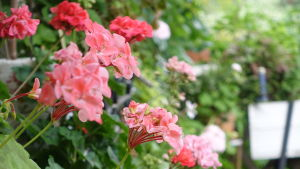 Röda blommor.