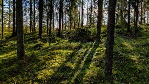 Solen tittar fram bakom träden i en skogsglänta.