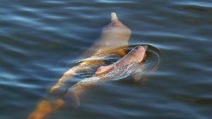 Två floddelfiner som tillhör arten Inia araguaiaensis simmar.