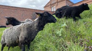 Mustanharmaita ja mustia lampaita linnan vallilla syömässä ruohoa