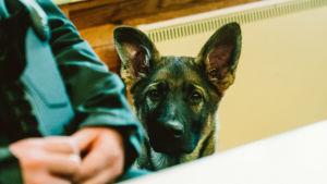 En hund sitter bredvid en gränsbevakare som går en kurs. Hunden tittar upp mot kameran.
