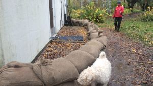 Petra Erkkola och hunden Nelli ser på grannhusets sandsäckar i Mankans.