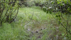 Vatten på den övervuxna stigen som leder till Hulubergsgrottan, Sibbo.