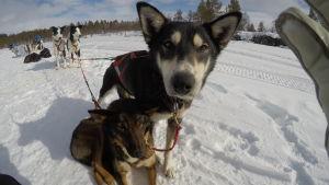 Två hundar i ett hundspann poserar framför Susanna Forsells kamera.