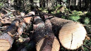 Några mindre granstockar ligger på marken i en skog där gallring pågår. Sommar, sol.