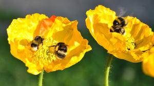 Flera humlor suger nektar från knallgula linnévallmo blommor